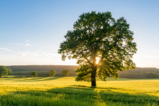 The sun bursts through a sycamore tree at sunset in a summer field in Staffordshire, England, UK.