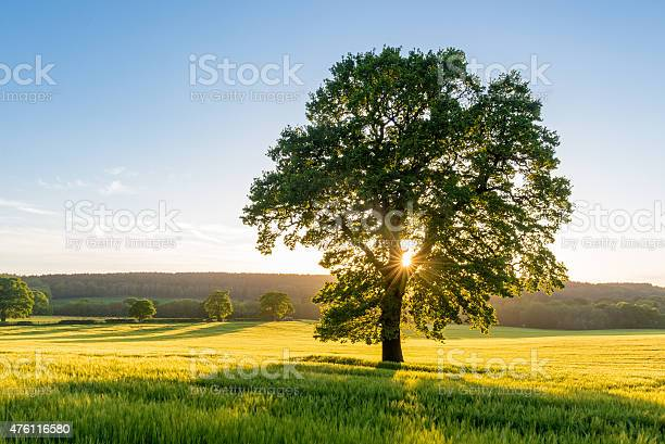 Photo of Sycamore Tree in Summer Field at Sunset, England, UK