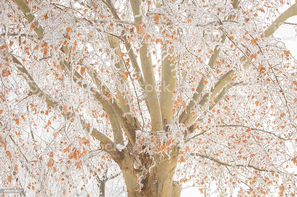 Sycamore Tree In Winter With Leaves And Bare Frosty Branches stock photo