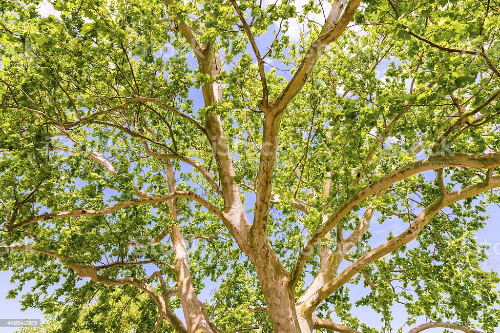 sycamore tree leaves and branches foliage canopy royalty-free stock photo & Sycamore Tree Leaves And Branches Foliage Canopy Stock Photo ...