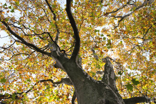 Sycamore tree old trunk Sycamore tree old trunk sycamore tree stock pictures, royalty-free photos & images