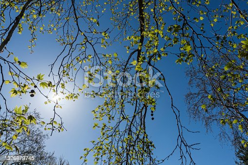 istock Sycamore Tree 1326679745