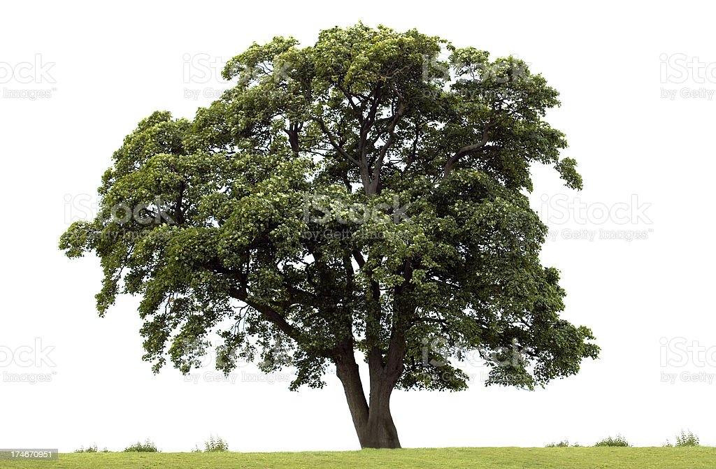 Sycamore Tree (Acer pseudoplatanus) stock photo