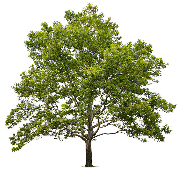 Image result for sycamore tree
