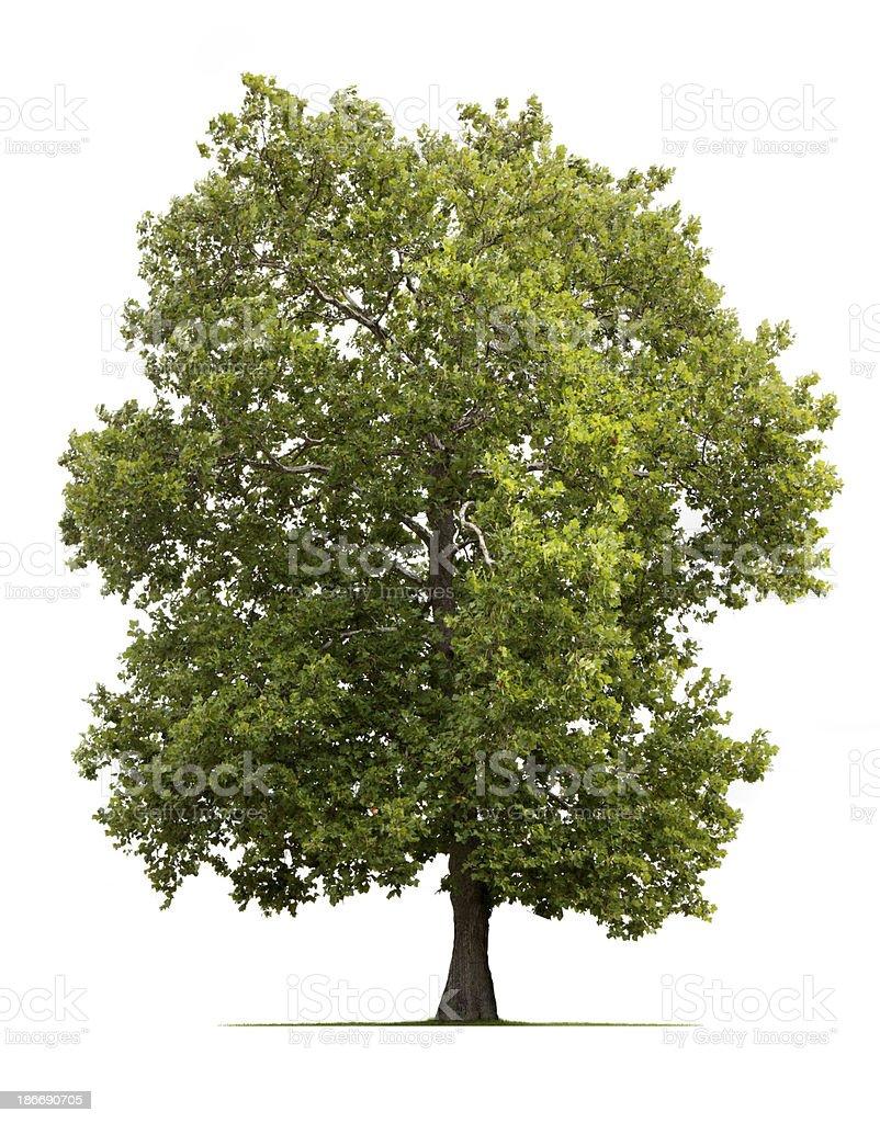 Sycamore Tree stock photo