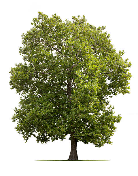 Sycamore Tree A lone Sycamore tree tree isolated against white. sycamore tree stock pictures, royalty-free photos & images
