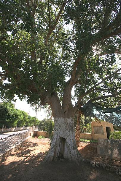 Sycamore Tree Zaccheus Sycamore Tree in Jericho sycamore tree stock pictures, royalty-free photos & images