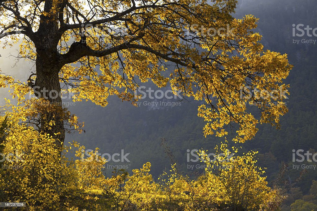 Sycamore tree with yellow autumn leaves in frame form royalty-free stock photo