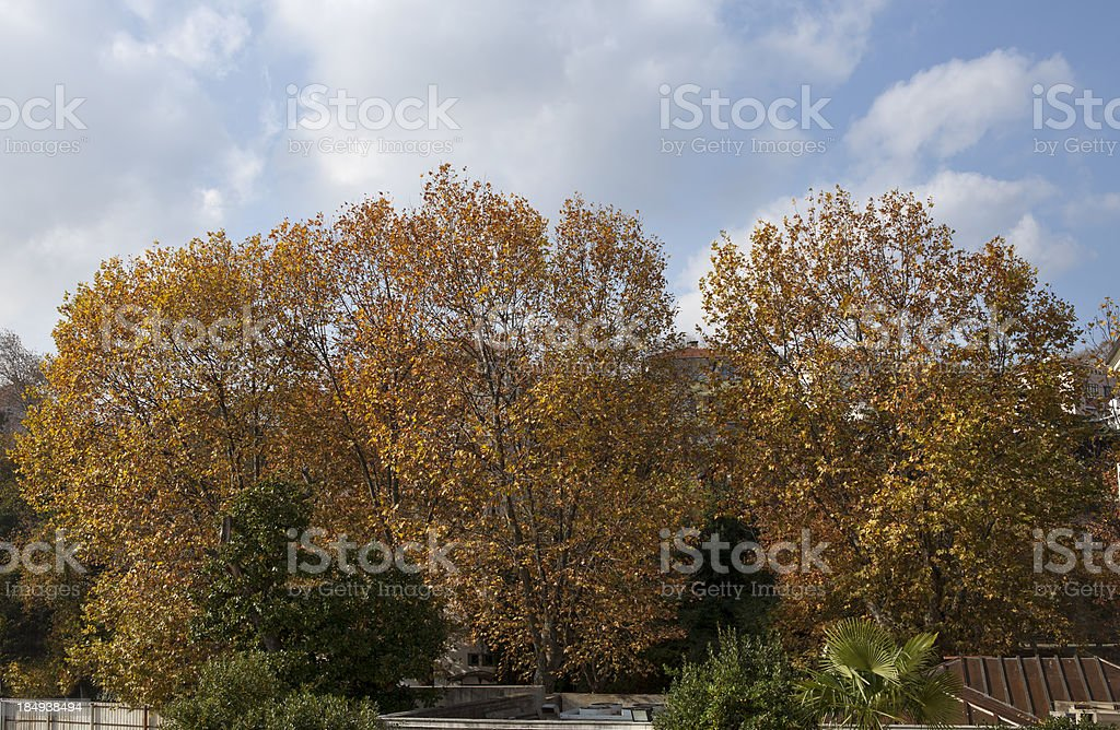 sycamore trees in the city stock photo