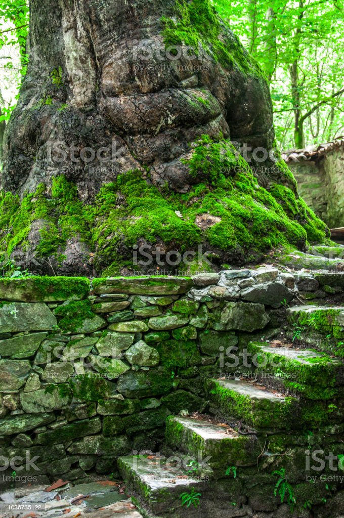 Sycamore trunk and old stone stairs near it - Стоковые фото Абстрактный роялти-фри