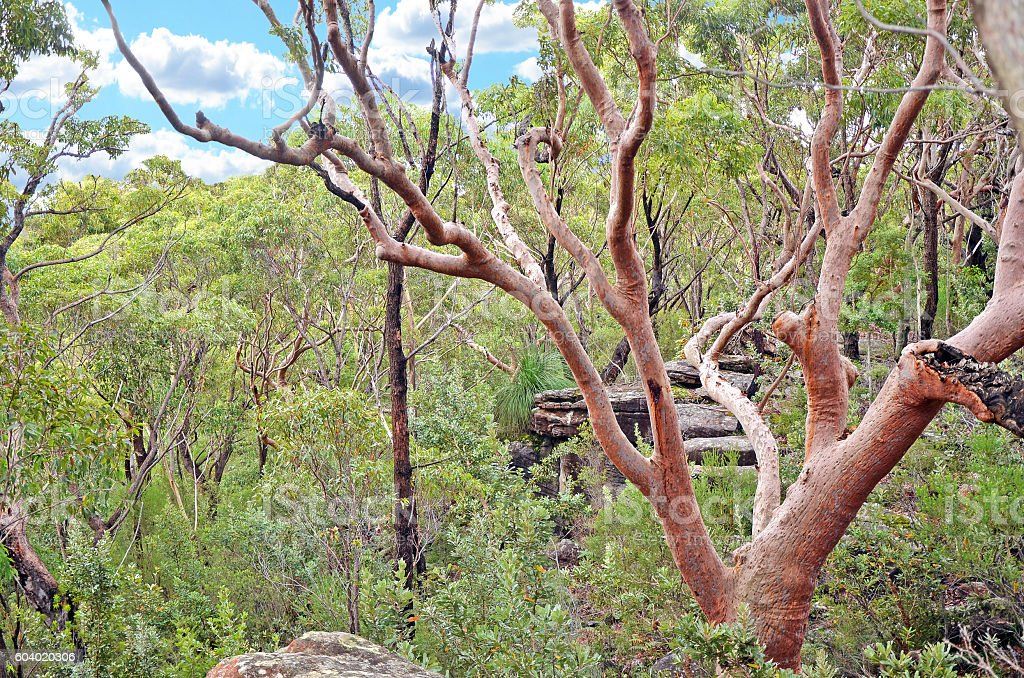Sydney Red Gum (Angophora costata) tree in open forest stock photo