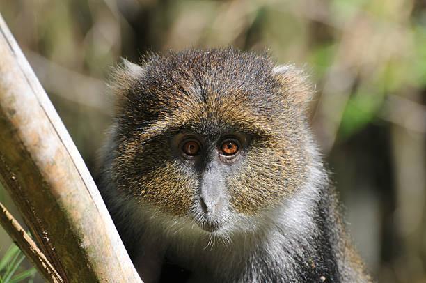 Sykes Monkey in Bamboo forest, Aberdares national park, Kenya stock photo
