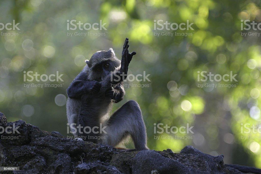 Sykes Monkey royalty-free stock photo