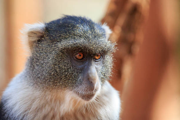 sykes monkey portrait - wildlife conservation stock photos and pictures