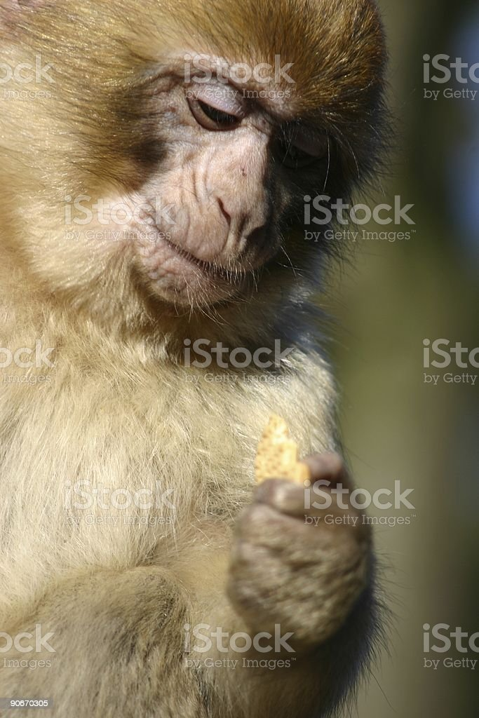 Macaca sylvana stock photo