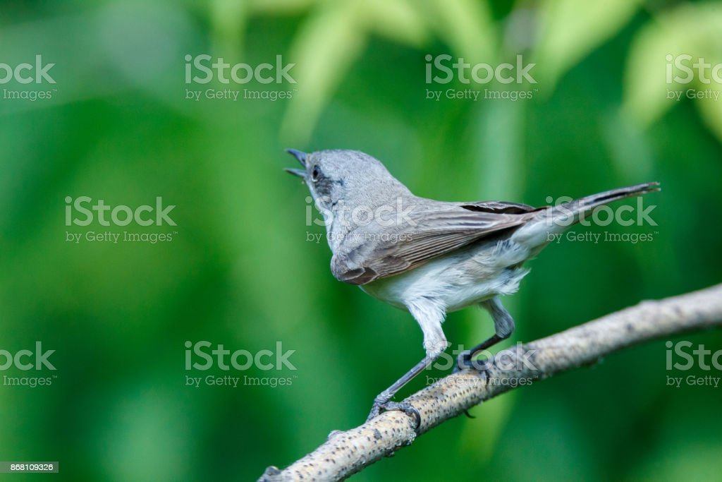 Sylvia curruca. The Lesser Whitethroat in nature. stock photo