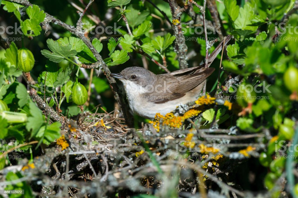 Sylvia curruca. The nest of the Lesser Whitethroat in nature. stock photo