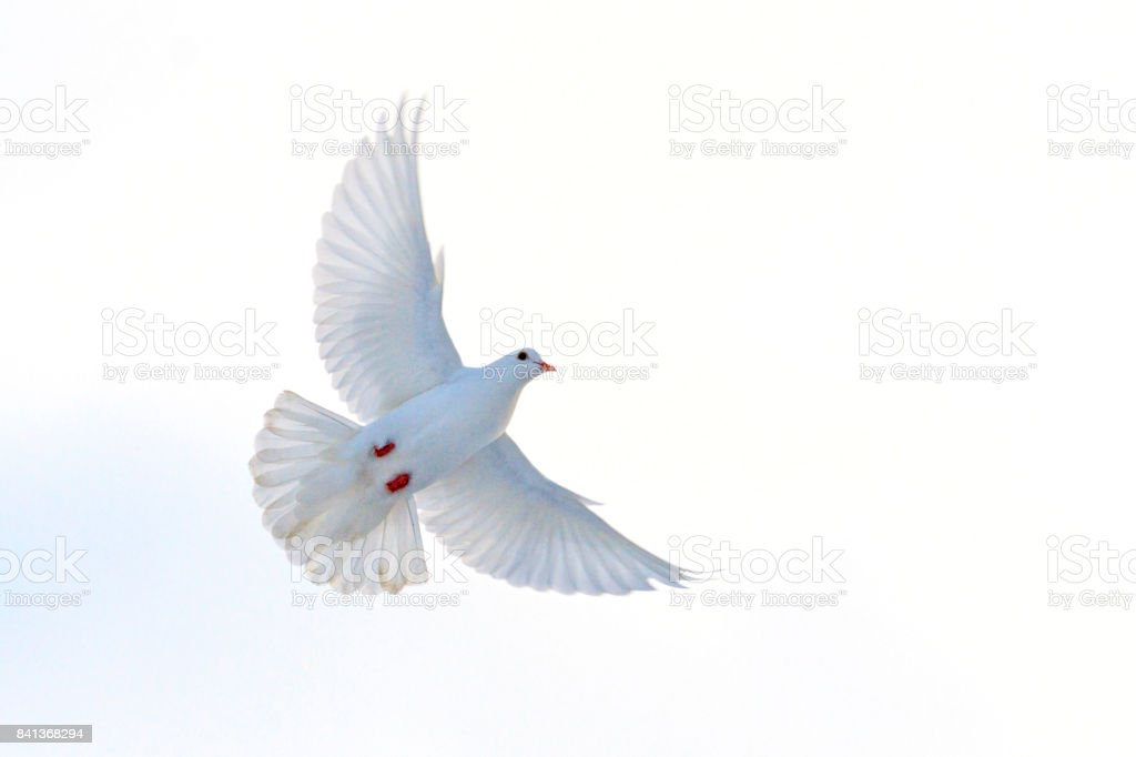 symbol of freedom a white dove in pastel colors stock photo