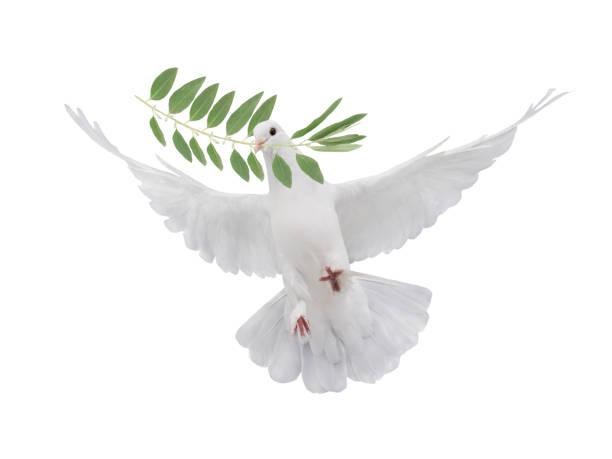 symbol white dove with palm branch - ramoscello d'ulivo foto e immagini stock