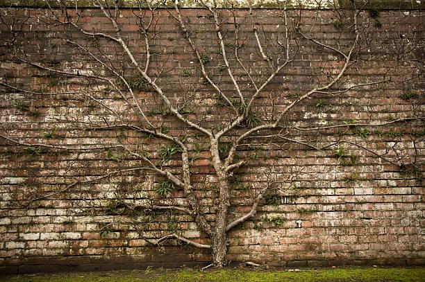 arbre emblématique - arbre généalogique photos et images de collection