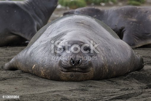 istock Symetrical Juvenile Elephant Seal relaxing on volcanic sand beach 610655954