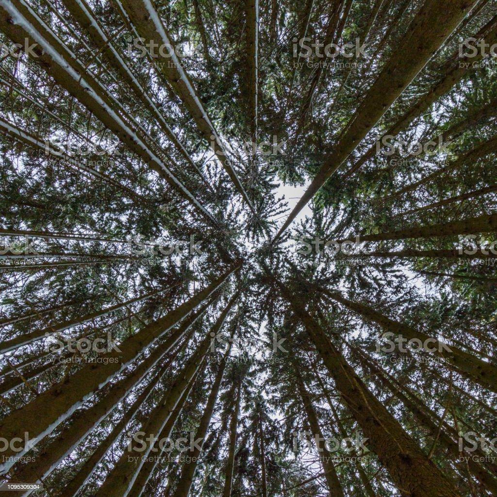 symmetrische unten Ansicht Perspektive der langen Baumstamm Nadelwald – Foto
