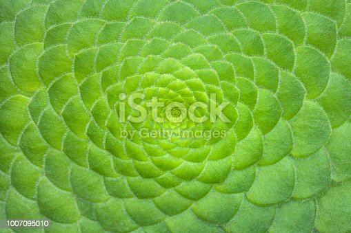 Symmetric green background of cactus succulent plants, close-up. Ideal geometry in nature, macro.