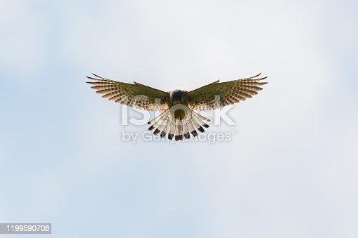 symmetric silhouette of natural kestrel (falco tinnunculus) in flight