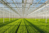 Symmetrical overview of lots of small chrysanthemum cuttings in long rows