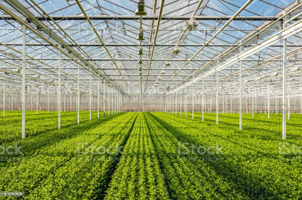 Symmetrical overview of lots of small chrysanthemum cuttings in long rows stock photo