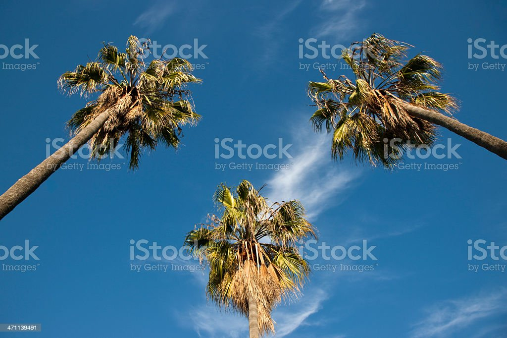 Symmetrical Palm Trees Venice Beach royalty-free stock photo