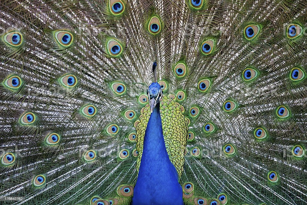 Symmetrical  Peacock stock photo