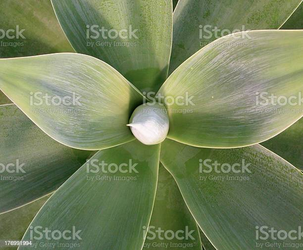 Symmetrical view of an agave with lush green leaves