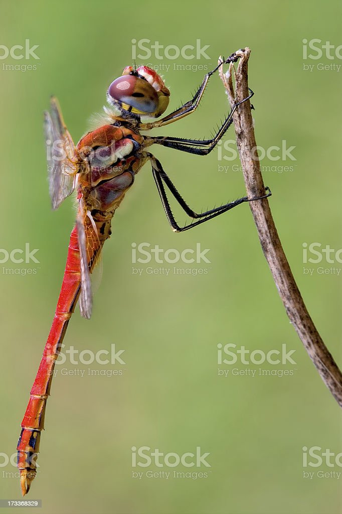 Sympetrum Fonscolombii on stock photo