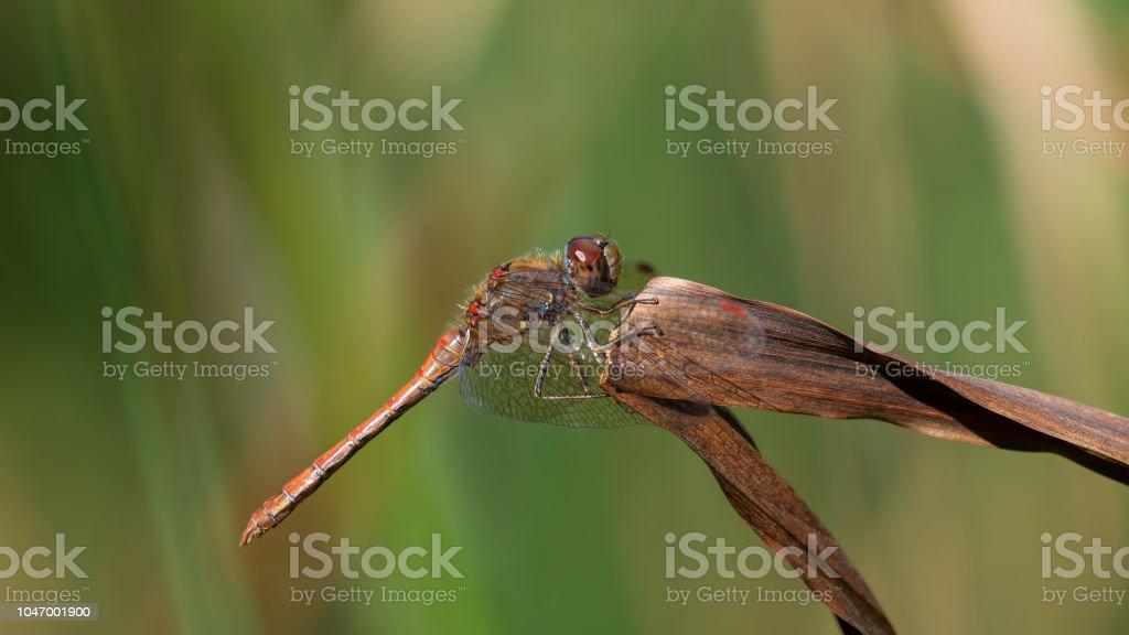 Sympetrum striolatum (Common Darter) stock photo