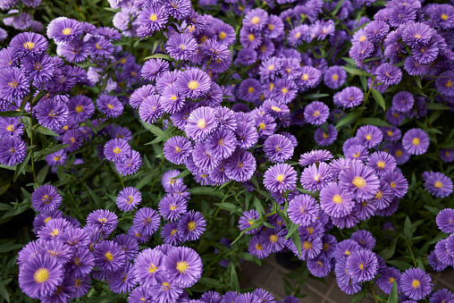Symphyotrichum novi-belgii in bloom