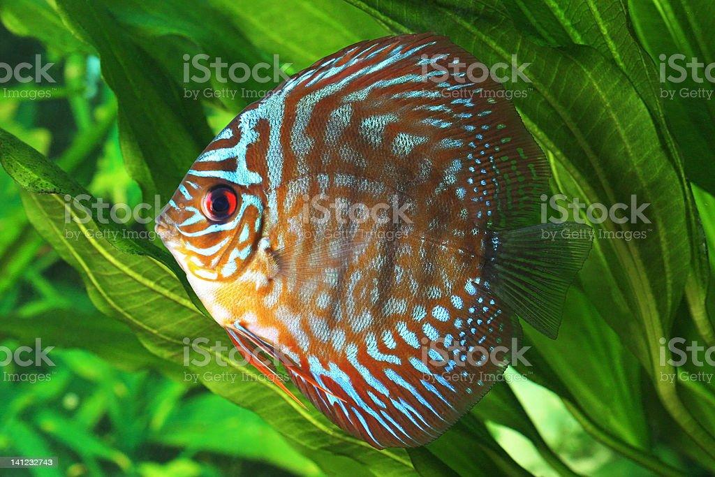Symphysodon discus fish royalty-free stock photo