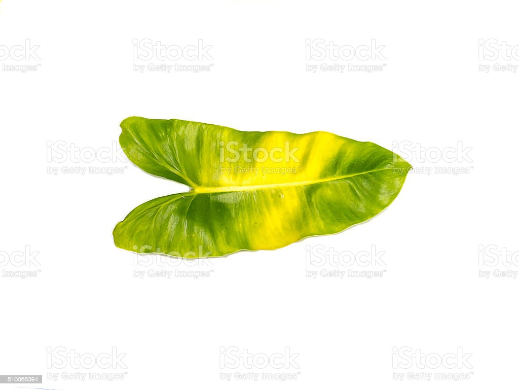 Syngonium podophyllum leaves on a white background. stock photo