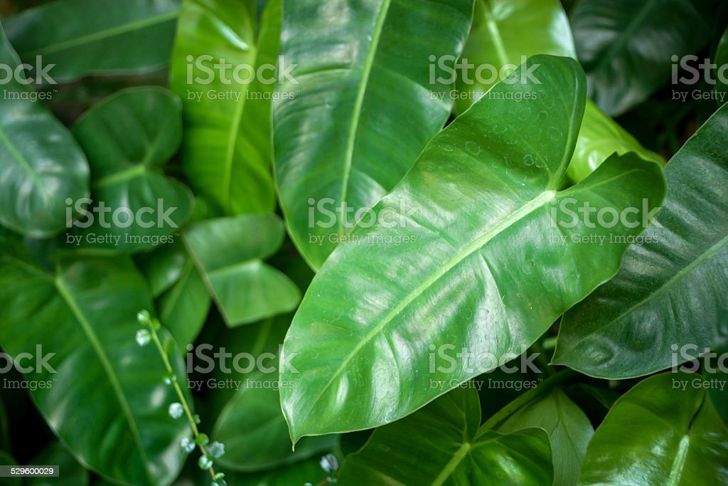Syngonium podophyllum leaves stock photo