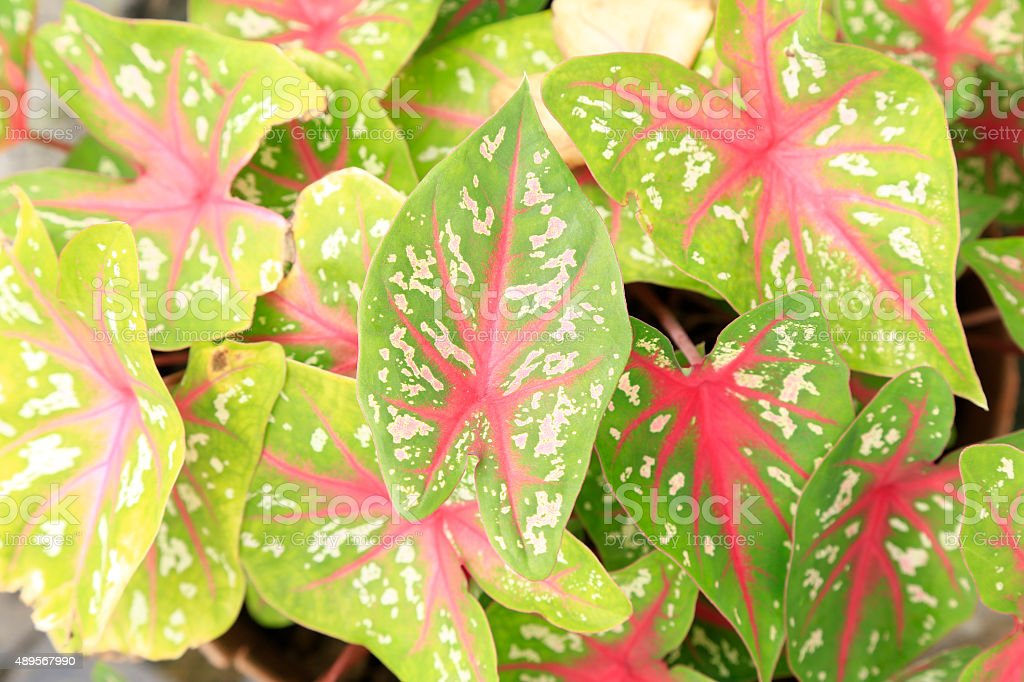 Syngonium podophyllum stock photo