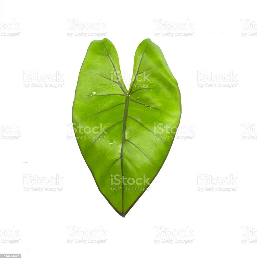 Syngonium Schott leaves isolated on a white background. stock photo