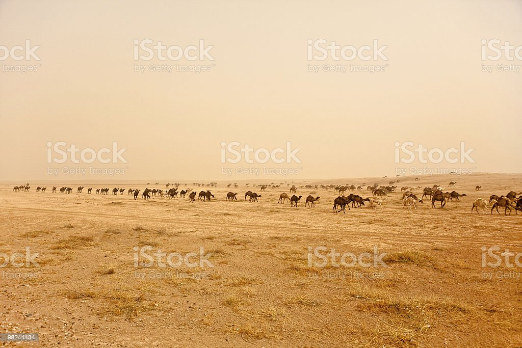 Syria - Rasafa, herd of camels in a sand storm royalty-free stock photo