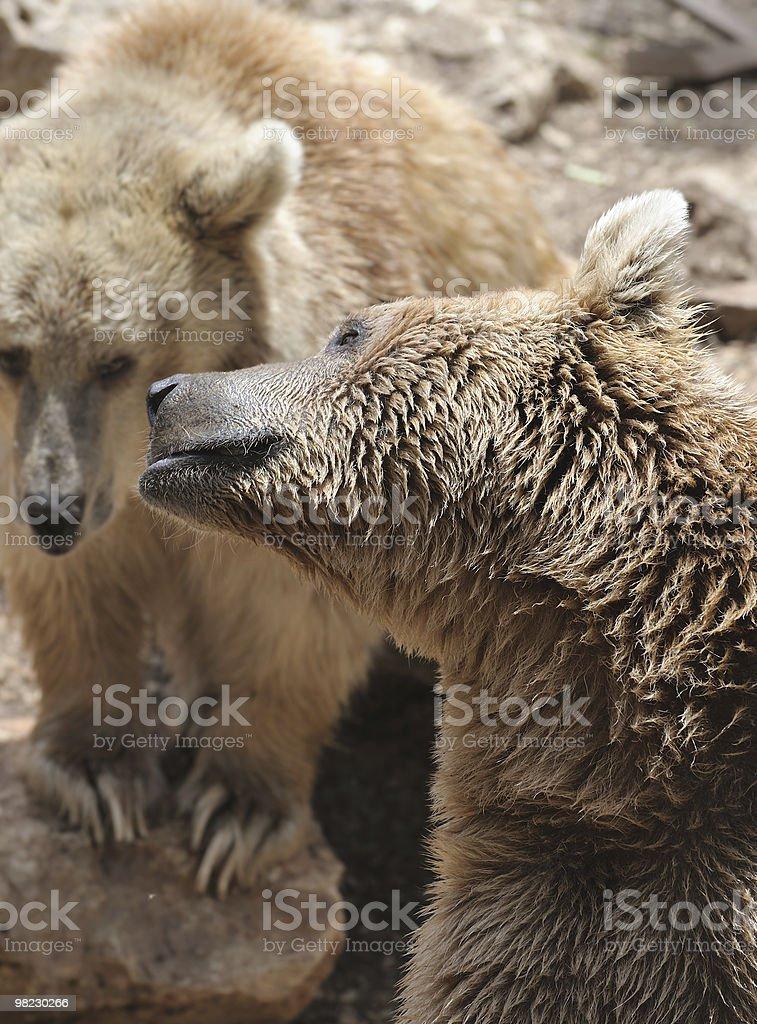 Syrian bear royalty-free stock photo