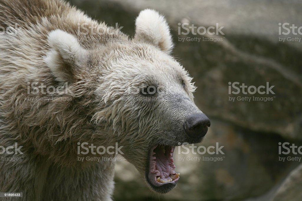 Syrian brown bear royalty-free stock photo