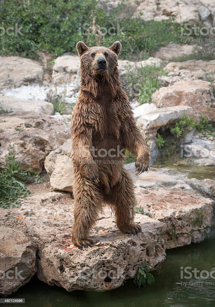 Urso-siríaco em pé na traseira - foto de acervo