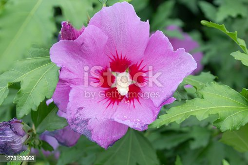 purple hibiscus flower Syrian close-up against the background of green foliage, macro, use as a background