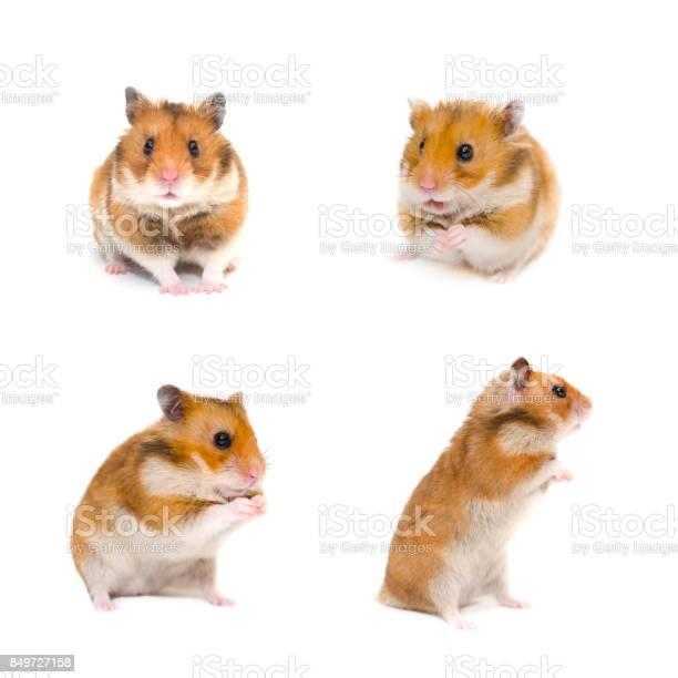 Syrian hamsters isolated on white picture id849727158?b=1&k=6&m=849727158&s=612x612&h=gpldsnsktygkk5kjlj0gjiqg16c935ftlbomemmd71i=