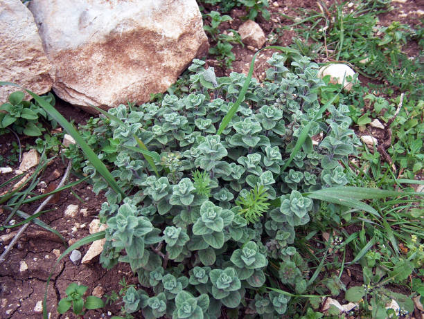 Syrian za'atar in the forest near the Lebanese border Syrian za'atar oregano in the forest near the Lebanese border zaatar spice stock pictures, royalty-free photos & images