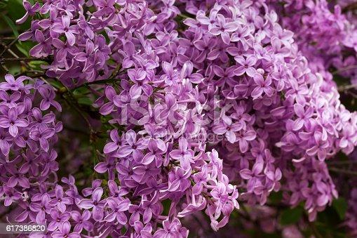 Lilac flowers macro shot