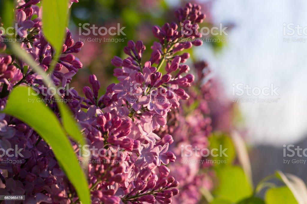 Syringa Flowers foto de stock royalty-free